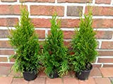 40 Stück Thuja occidentalis Smaragd, Höhe ab Topf: 30-40 cm, Heckenpflanzen