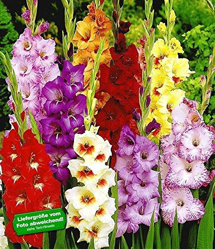 Gladiolen-Mischung,100 Zwiebeln Gladiolus 100 Stück zum Sonderpreis