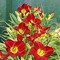 Hemerocallis Taglilie Scarlet Orbit - 1 pflanze von Meingartenshop auf Du und dein Garten