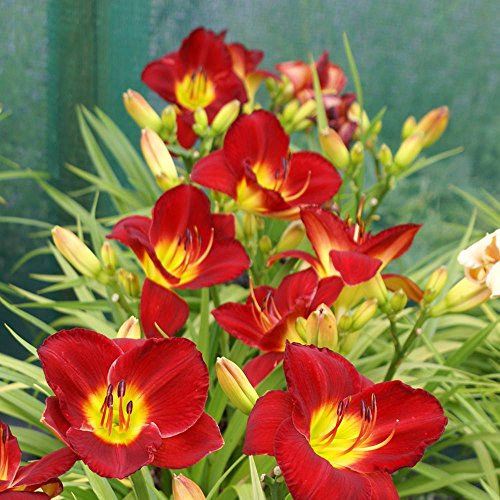 Scarlet Garten (Hemerocallis Taglilie Scarlet Orbit - 1 pflanze)