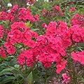 Flammenblume ( Phlox paniculata ' Red Riding Hood ' ) von Lichtnelke Pflanzenversand auf Du und dein Garten
