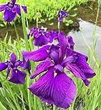 Japanische Sumpf Schwertlilie Loyalty - Iris ensata
