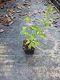 Goji pianta bacche di goji for Coltivazione goji in vaso