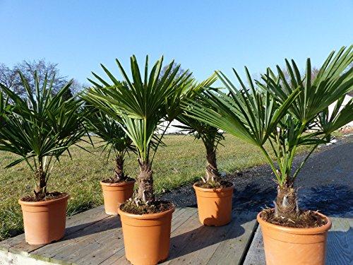M Palme Trachycarpus fortunei 80-100 cm, Hanfpalme, plus gratis Zitrone Bonsai!