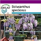 SAFLAX - Big Garden - Bonsai - Afrikanischer Blauregen - 15 Samen - Bolusanthus speciosus