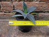 Agave americana var. americana 10 cm, cactus, pianta grassa winter hard, resistente fino a -5° C