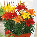 Virtue Sunset Mix Asiatic Lily (5 bulbs) Pots and Planters, Cut Flowers. Perennial