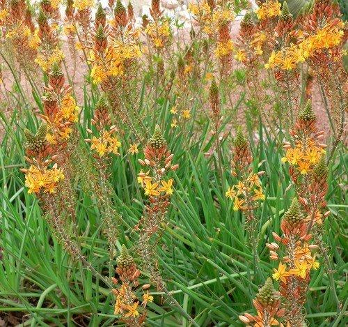 Plant World Seeds - Bulbine Frutescens Seeds