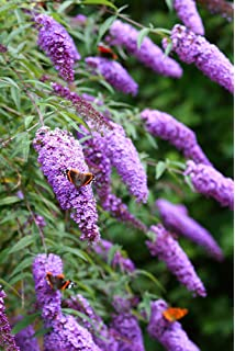25 Grad Schmetterlingsflieder buddleja davidii 100 Samen frosthart bis
