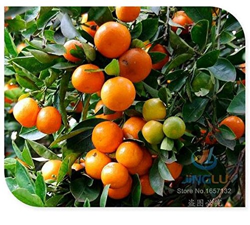 calamondin-seeds-miniature-citrus-50-seeds-tangy-fruit-orange-seeds-showy-houseplant-fabulous-bonsai