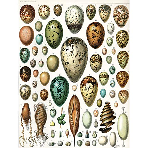 Millot Various Bird Eggs Large Wall Art Print Vogel Wand