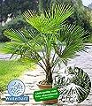 Trachycarpus Fortunei Frostharte Hanfpalme ca. 160-180 cm.Gesamthöhe Frosthart bis -17 Grad PROMOTION AKTION zeitlich begrenzt von Lifestyle-Hamburg Pflanzenraritäten auf Du und dein Garten