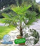 Trachycarpus Fortunei Echte Frostharte Hanfpalme ca. 160-180 cm.Gesamthöhe Frosthart bis -17 Grad PROMOTION AKTION zeitlich begrenzt