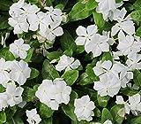 Bodendecker Vinca minor 'alba' im 0,5 L Topf gewachsen mit weißen Blüten 10 Stück