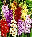 BALDUR-Garten Gladiolen-Mischung,50 Zwiebeln Gladiolus Mix von Baldur-Garten auf Du und dein Garten