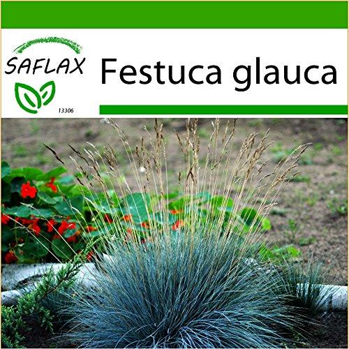 SAFLAX - Festuca azzurra - 50 semi - Con substrato - Festuca glauca