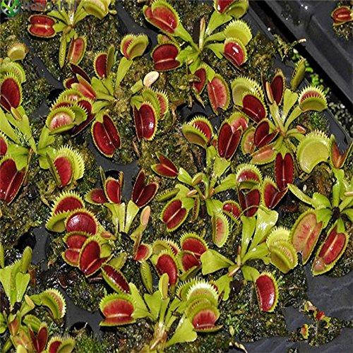 500pcs Carnivore Semences à gazon Anti Moustique Mouches Graines Herbe Plantes en pot semences pour les plantes jardin Courtyard Home Decor