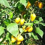 10 Samen Rocoto de Seda Chili – mehrjähriger Baumchili