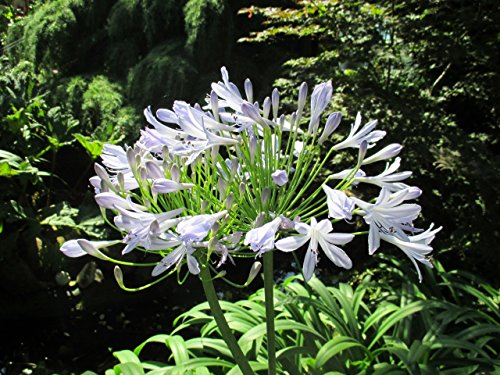 Agapanthus praecox: Lily of the Nile (English Edition)