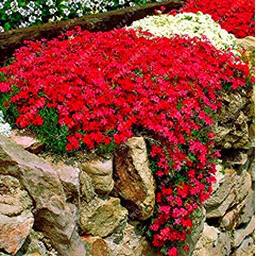 Keptei Samenhaus - 100 Stück Steinkraut Blumen Samen Seltenen Gänsekresse Arabis Samen Blumenmeer Winterhart Mehrjährige Pflanzen für Haus Garten -