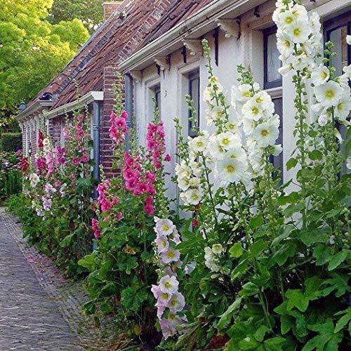 ADOLENB Garten Samen - Hollyhock Samen Stockrose/Alcea/mehrjährige Hirsche beständig Blumen Samen