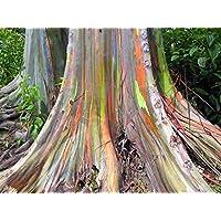 Asklepios-seeds® - 1000 Semillas de Eucalyptus deglupta eucalipto