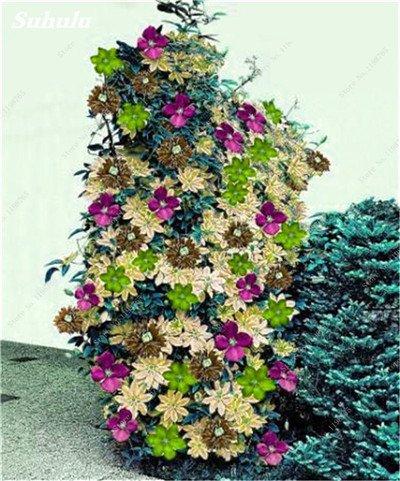100 Pcs Clematis Graines de plantes Belle Paillage Graines de fleurs Bonsai ou un pot de fleurs vivaces pour jardin Mix 10 Couleurs