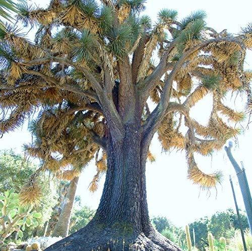 Portal Cool Yucca Filifera, seltene Palme Wüste Agave Garten Exotische Aloe Seed 15 Samen