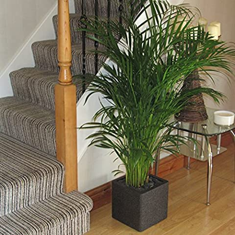 Large Areca Palm Tree 1.20 -1.30m Beautiful Quality Indoor House or Office Plant That Comes Complete As Shown Fully Planted Including The Decorative