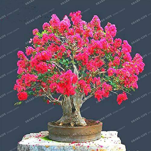 sanhoc 100 pz crape mirto - lagerstroemia indica 'natchez' perenne fiore bonsai cortile myrtle fiori giardino della casa vaso da fiori: 1