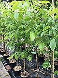 Walnuss Baum winterhart Juglans regia Sämling Obstbaum Walnussbaum 80-120 cm im Topf