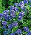 BALDUR-Garten Immergrüne Säckelblume Ceanothus-Stämmchen 'Blue Mound', 1 Pflanze von Baldur-Garten - Du und dein Garten