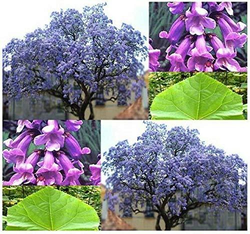AGROBITS 50 Princess Tree Paulownia tomentosa Seeds @@ weltweit am schnellsten wachsenden Baum @@