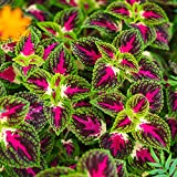 Buntnessel Rainbow Samen - Buntnessel Pestwurz