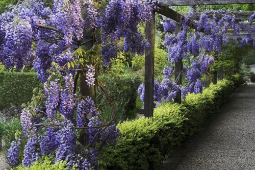 8-seeds-absolutely-hardy-fast-growing-chinese-wisteria-wisteria-sinensis-