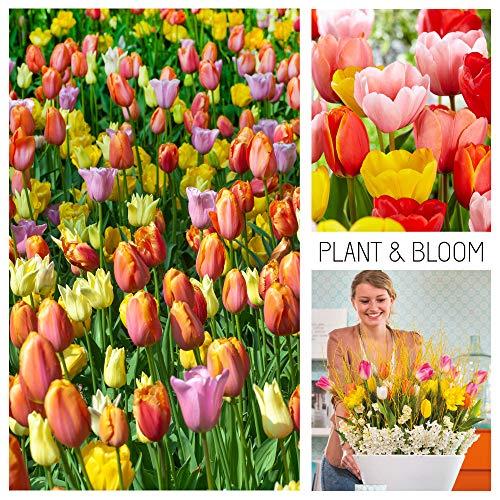plant & bloom - bulbi da fiore, tulipani ibridi darwin dall'olanda - 35 bulbi, semina autunnale, facili da coltivare, fioritura primaverile - arancioni e rosa - qualità superiore olandese