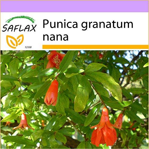SAFLAX - Zwerg - Granatapfel - 50 Samen - Punica granatum nana - Komplette Granatapfel