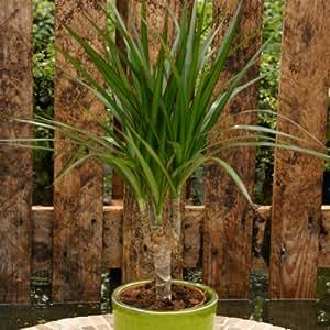 Drachenbaum Dracaena - 2 pflanzen
