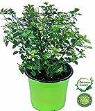 Menthol Strauch Kräuter Pflanze, Prosthanthera rotundifolia, Honigmyrte Aus Nachhaltigem Anbau!