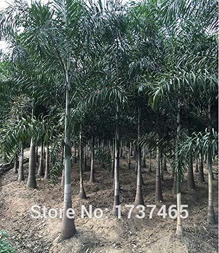 Go Garden Wodyetia Bifurcata, Landschaftsbau, Fuchsschwanz, Kokosnuss, Topfpflanzen, Haus Garten, 2 Stück