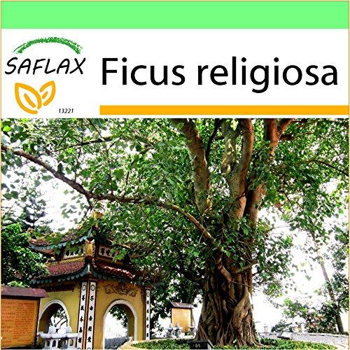 SAFLAX - Garden to Go - Buddha-Feige / Bodhi-Baum - 100 Samen - Ficus religiosa