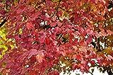 Echter Schneeball Roseum Gewöhnlicher Schneeball Roseum Viburnum opulus Roseum Containerware 60-100 cm
