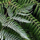 ScoutSeed Cyathea Dealbata - 50 Semi/Spore - Silver Tree Fern