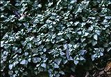 Staudenkulturen Wauschkuhn Lamium maculatum