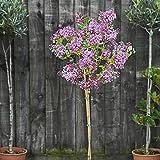 Lilac Plant Standard Grafted Tree Scented Hardy Syringa meyeri 'Palibin' Baring Fragrant Colourful Flowers 1 x 2L Pot by Thompson & Morgan