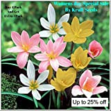 #7: ZEPHYRANTHES LILLY FLOWER BULBS COLLECTION OF FOUR COLOURS ( 2 BULBS EACH COLOURS OF RED , PINK , WHITE AND LAST YELLOW ) BY KRAFT SEEDS