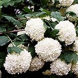 Gefüllter Schneeball. Viburnum opulus. 2 Ltr 1 Stck - zu dem Artikel bekommen Sie gratis ein Paar Handschuhe für die Gartenarbeit dazu
