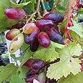 Souvenir Datteltraube, blaue Traube, Weinrebe, pilzfeste Sorte im 2 LiterTopf von Grüner Garten Shop auf Du und dein Garten