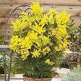 HOO PRODUCTS - 20pcs / lot Gelb Mimosa Samen Blumensamen Garten Bonsai Topfpflanze DIY Hausgarten Gelb Mimosen-Baum zum Verkauf Heißer Verkauf!