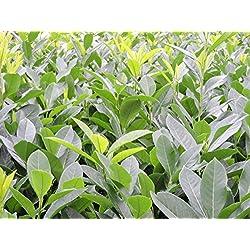 50 Stück Kirschlorbeer 'Caucasica' (Prunus lauroc. 'Caucasica') im Topf 40-60cm